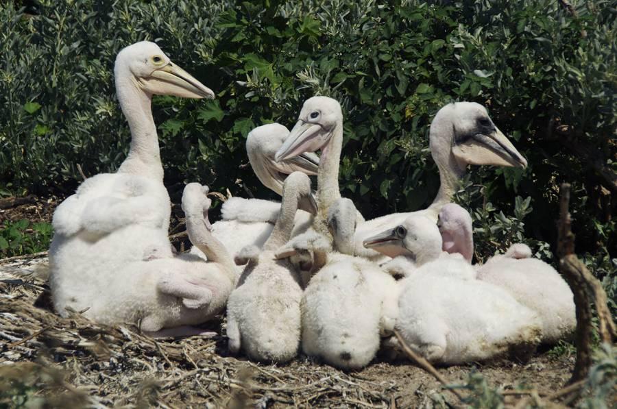Australian Pelican chicks (Pelicanus conspicillatus)