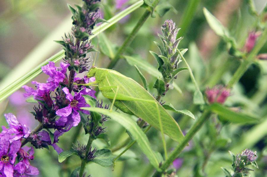 Katydid and Purple Loosstrife