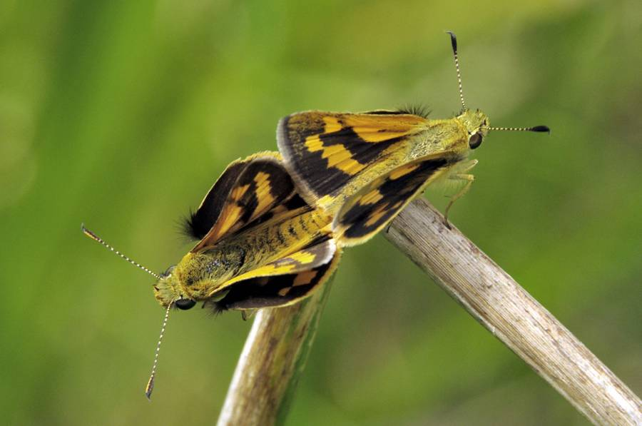 Yellow-banded Dart (Ocybadistesv walkeri sothis) mating pair