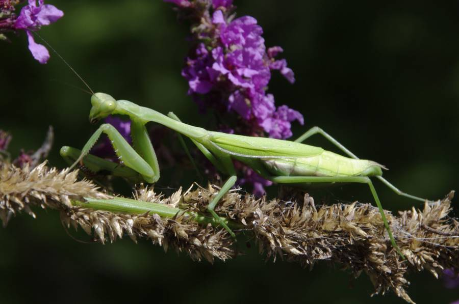 Orthodera mantis - female