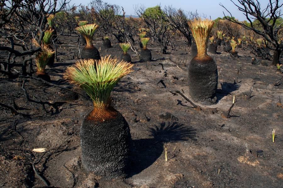 Grass Trees (Xanthorea australis)