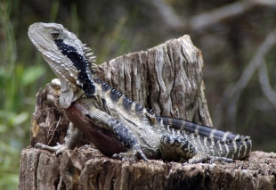 Eastern Water Dragon - <em>Physignathus lesueurii lesueurii</em>