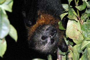 Grey-headed Flying Fox