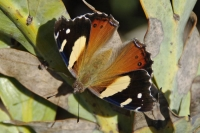 Yellow or Australian Admiral
