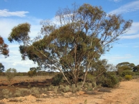 Drought-stressed mallee tree